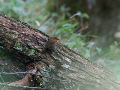 soku_34207.jpg :: 動物 鳥 野鳥 自然の鳥 コマドリ メス
