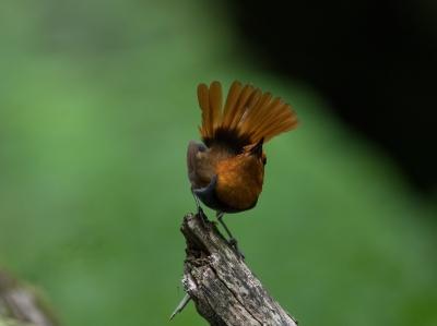 soku_34208.jpg :: 動物 鳥 野鳥 自然の鳥 コマドリ