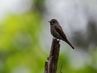 soku_34209.jpg :: 動物 鳥 野鳥 自然の鳥 サメビタキ