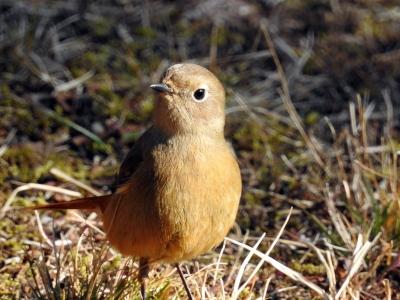 soku_34211.jpg :: 動物 鳥 野鳥 自然の鳥