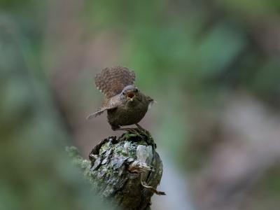 soku_34213.jpg :: 動物 鳥 野鳥 自然の鳥 ミソサザイ
