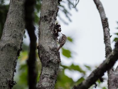 soku_34214.jpg :: 動物 鳥 野鳥 自然の鳥 キバシリ