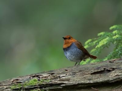 soku_34215.jpg :: 動物 鳥 野鳥 自然の鳥 コマドリ