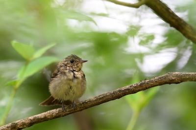 soku_34218.jpg :: 動物 鳥 野鳥 自然の鳥 キビタキ