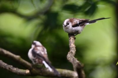 soku_34222.jpg :: 動物 鳥 野鳥 自然の鳥 エナガ