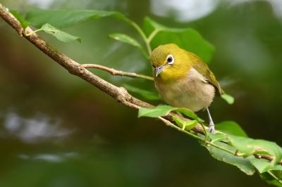 soku_34224.jpg :: 動物 鳥 野鳥 自然の鳥 メジロ
