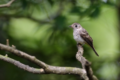 soku_34231.jpg :: 動物 鳥 野鳥 自然の鳥 コサメビタキ