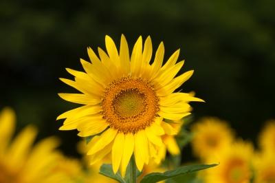 soku_34238.jpg :: ひまわり 観光農園花ひろば 植物 花 向日葵 ヒマワリ