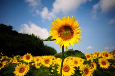 soku_34239.jpg :: ひまわり 観光農園花ひろば 植物 花 向日葵 ヒマワリ