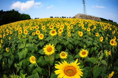 soku_34240.jpg :: ひまわり 観光農園花ひろば 植物 花 向日葵 ヒマワリ 広角 魚眼レンズ フィッシュアイ