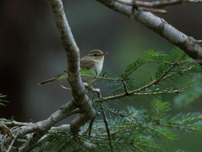 soku_34241.jpg :: 動物 鳥 野鳥 自然の鳥 メボソムシクイ