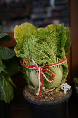soku_34258.jpg :: 食べ物 食材 野菜 白菜 植木鉢