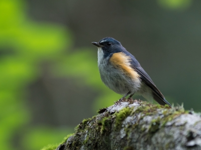 soku_34277.jpg :: 動物 鳥 野鳥 自然の鳥 ルリビタキ オス