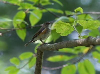 soku_34278.jpg :: 動物 鳥 野鳥 自然の鳥 ルリビタキ メス