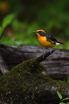 soku_34281.jpg :: 動物 鳥 野鳥 自然の鳥 キビタキ