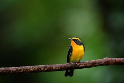 soku_34282.jpg :: 動物 鳥 野鳥 自然の鳥 キビタキ