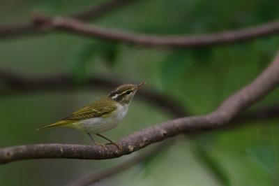 soku_34283.jpg :: 動物 鳥 野鳥 自然の鳥 センダイムシクイ