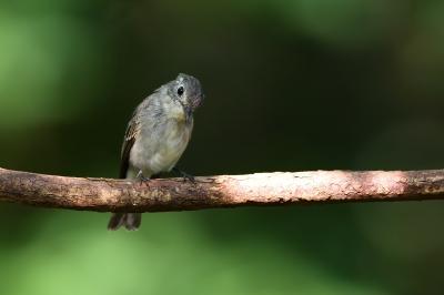 soku_34290.jpg :: 動物 鳥 野鳥 自然の鳥 コサメビタキ