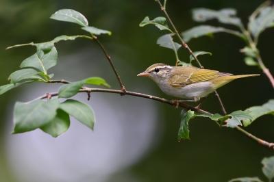 soku_34291.jpg :: 動物 鳥 野鳥 自然の鳥 センダイムシクイ