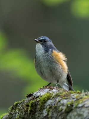 soku_34293.jpg :: 動物 鳥 野鳥 自然の鳥 ルリビタキ