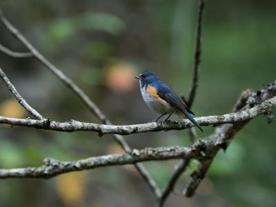 soku_34294.jpg :: 動物 鳥 野鳥 自然の鳥 ルリビタキ