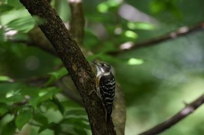 soku_34312.jpg :: 動物 鳥 野鳥 自然の鳥 コゲラ