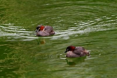 soku_34321.jpg :: 動物 鳥 野鳥 自然の鳥 カイツブリ