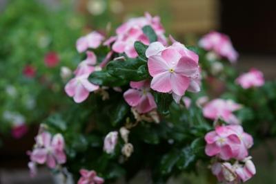 soku_34325.jpg :: 植物 花 ピンクの花