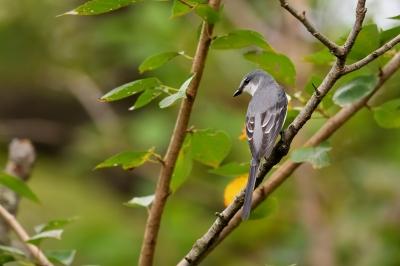 soku_34329.jpg :: 動物 鳥 野鳥 自然の鳥 サンショウクイ