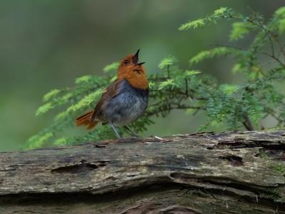 soku_34337.jpg :: 動物 鳥 野鳥 自然の鳥 コマドリ