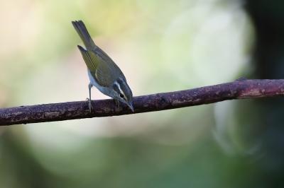 soku_34350.jpg :: 動物 鳥 野鳥 自然の鳥 センダイムシクイ