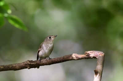 soku_34351.jpg :: 動物 鳥 野鳥 自然の鳥 コサメビタキ