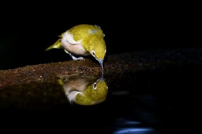 soku_34354.jpg :: 動物 鳥 野鳥 自然の鳥 メジロ