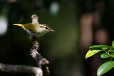 soku_34363.jpg :: 動物 鳥 野鳥 自然の鳥 センダイムシクイ