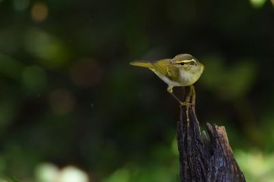 soku_34364.jpg :: 動物 鳥 野鳥 自然の鳥 センダイムシクイ