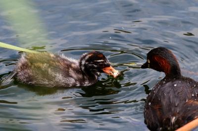 soku_34366.jpg :: 動物 鳥 野鳥 自然の鳥 カイツブリ
