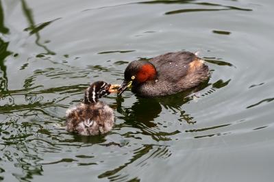 soku_34367.jpg :: 動物 鳥 野鳥 自然の鳥 カイツブリ