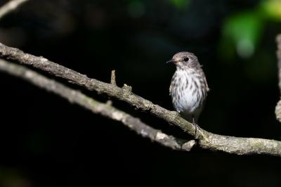 soku_34387.jpg :: 動物 鳥 野鳥 自然の鳥 エゾビタキ