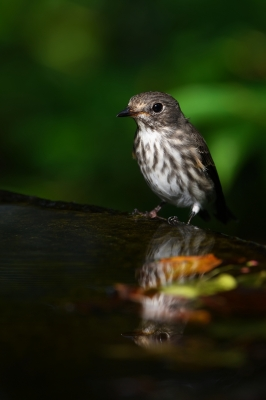 soku_34388.jpg :: 動物 鳥 野鳥 自然の鳥 エゾビタキ