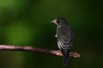 soku_34389.jpg :: 動物 鳥 野鳥 自然の鳥 エゾビタキ