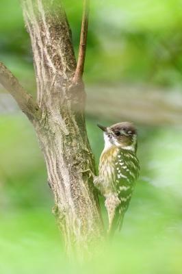 soku_34394.jpg :: 動物 鳥 野鳥 自然の鳥 コゲラ