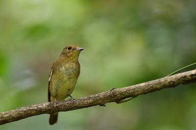 soku_34395.jpg :: 動物 鳥 野鳥 自然の鳥 キビタキ