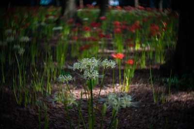 soku_34398.jpg :: 植物 花 白い花