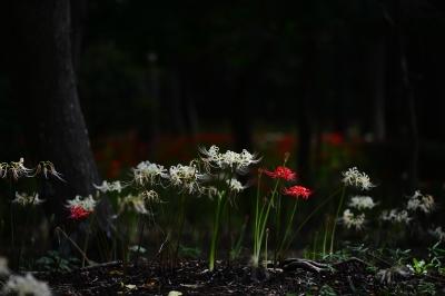 soku_34406.jpg :: 植物 花 赤い花 白い花