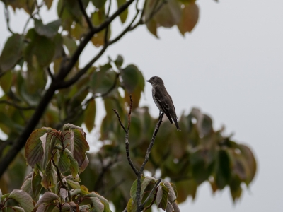 soku_34438.jpg :: 動物 鳥 野鳥 自然の鳥 エゾビタキ