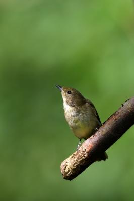 soku_34449.jpg :: 動物 鳥 野鳥 自然の鳥 キビタキ