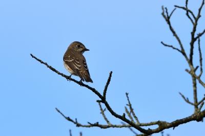 soku_34450.jpg :: 動物 鳥 野鳥 自然の鳥 エゾビタキ