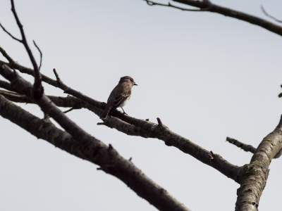 soku_34460.jpg :: 動物 鳥 野鳥 自然の鳥 エゾビタキ