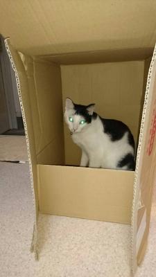 soku_34477.jpg :: みーちゃん ダンボール 動物 哺乳類 猫 ネコ