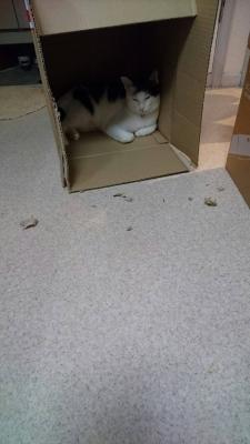 soku_34478.jpg :: みーちゃん ダンボール かみちぎる 動物 哺乳類 猫 ネコ
